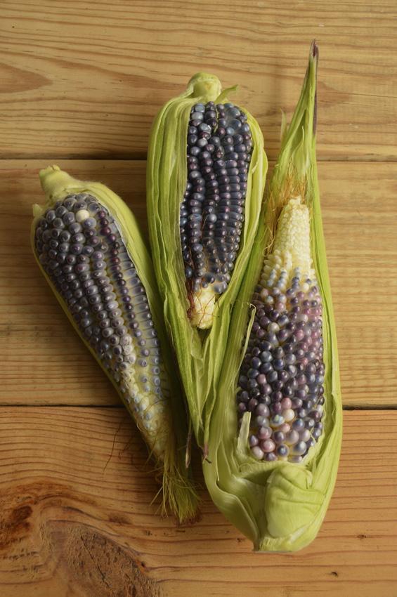 blue ears of corn