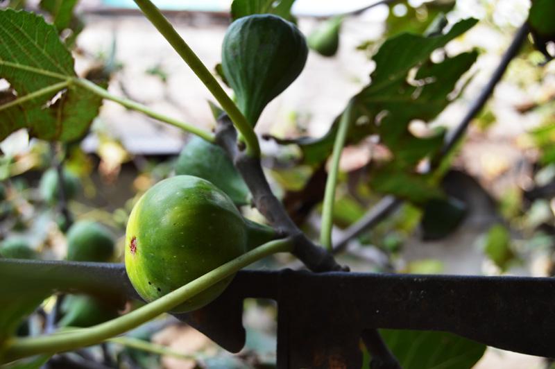 figs-low