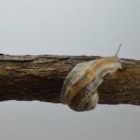 133. Land snail