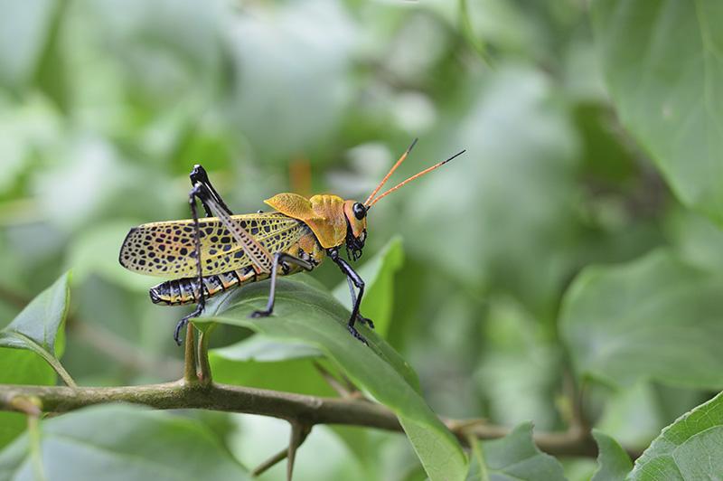 orange grasshopper on leaves