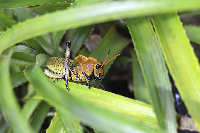 orange grasshopper on spiny plant