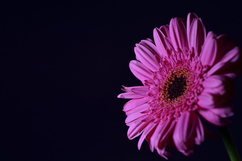 pink flower on dark background
