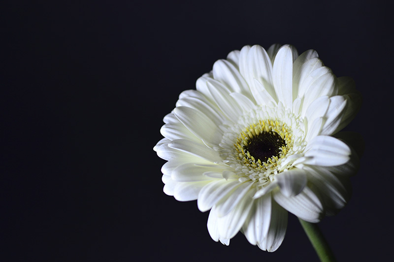 white flower on dark background