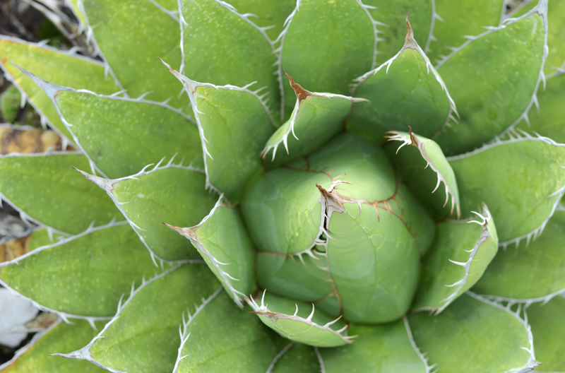 center of a succulent plant-low