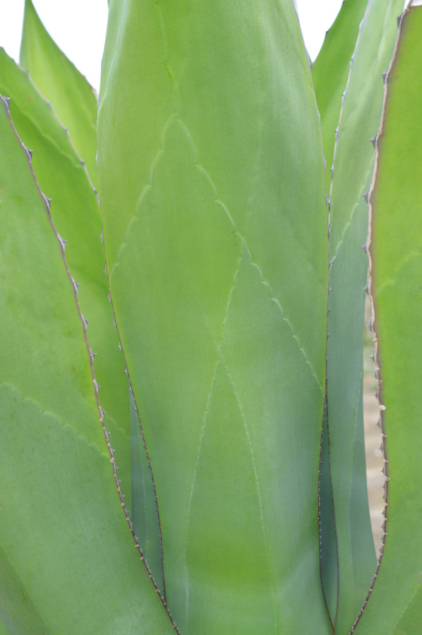 green agave plant-low
