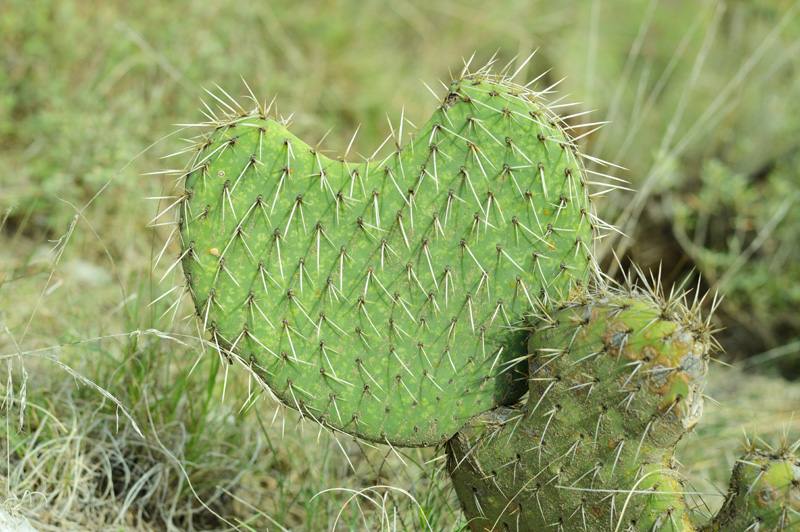 heart shaped cactus plant