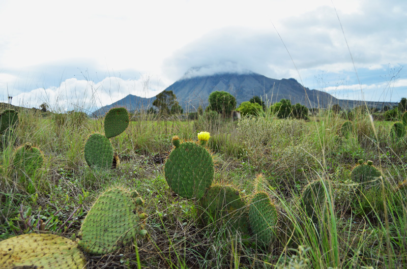 cactus plants and the mountain