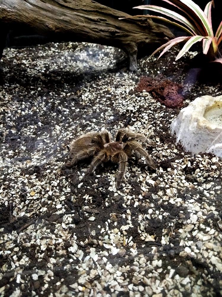 brown tarantura