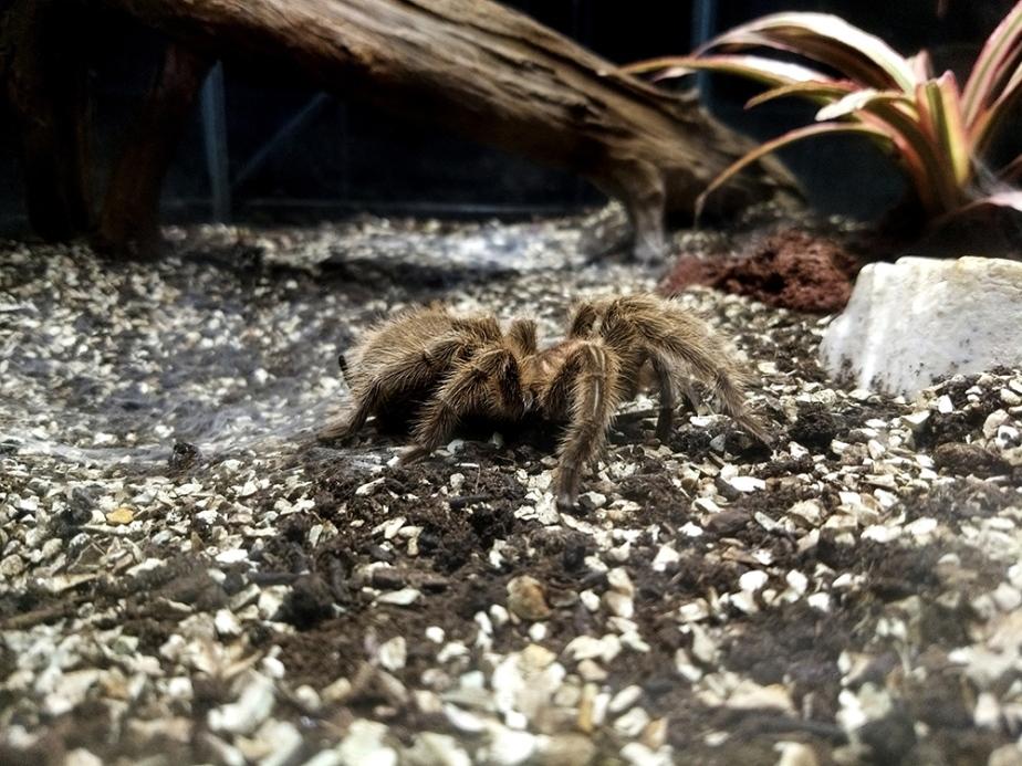 close up of brown tarantura