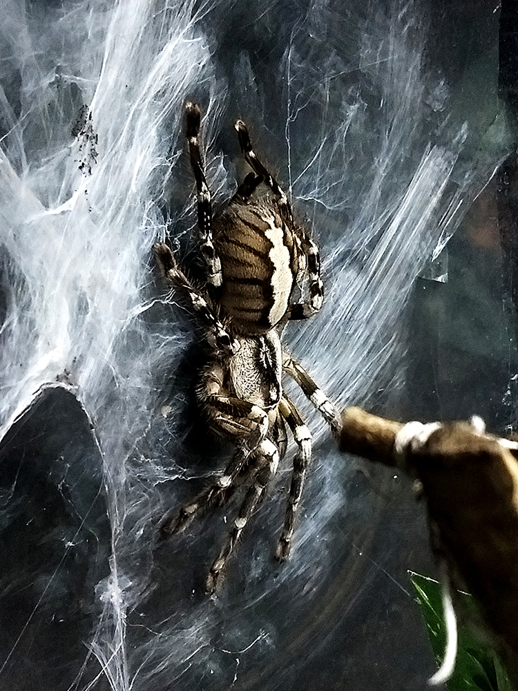 close up of  indian ornamental tree spider