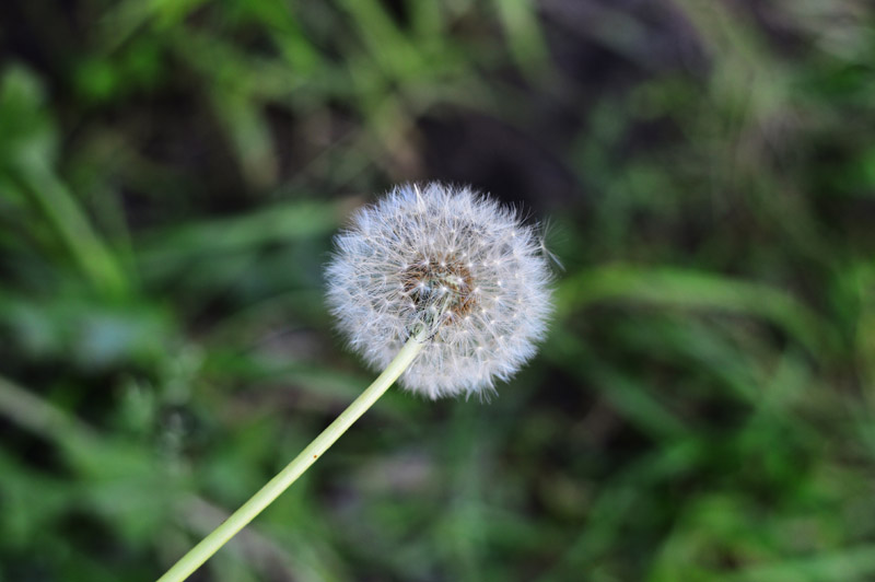 dandelion b