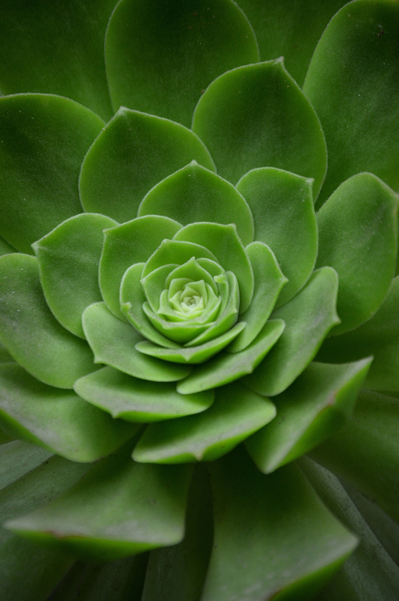 detail of echeveria succulent plant