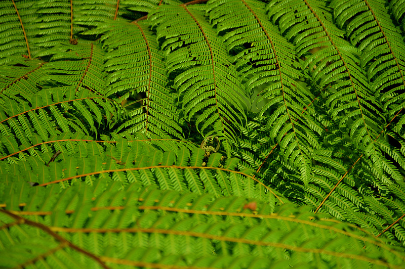 fern texture-low