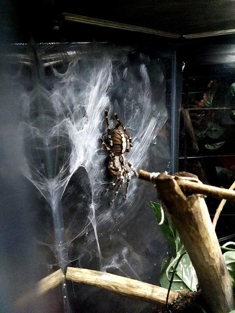 indian ornamental tree spider